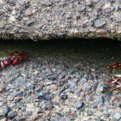 Teneriffa-Krabbe - Die Rote Klippenkrabbe auf Teneriffa