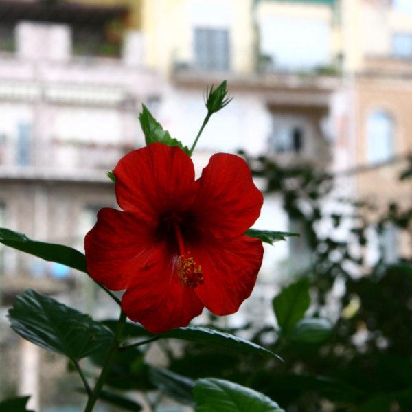 Giardini della Villa Communale - Hibiskusblüte