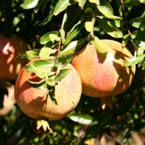 Granatäpfel kurz vor der Ernte