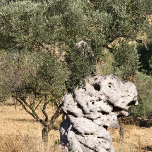 Knorriger Stamm - Alter Olivenbaum