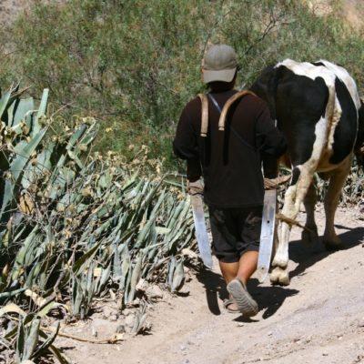 Junge mit Kuh im Colca Canyon