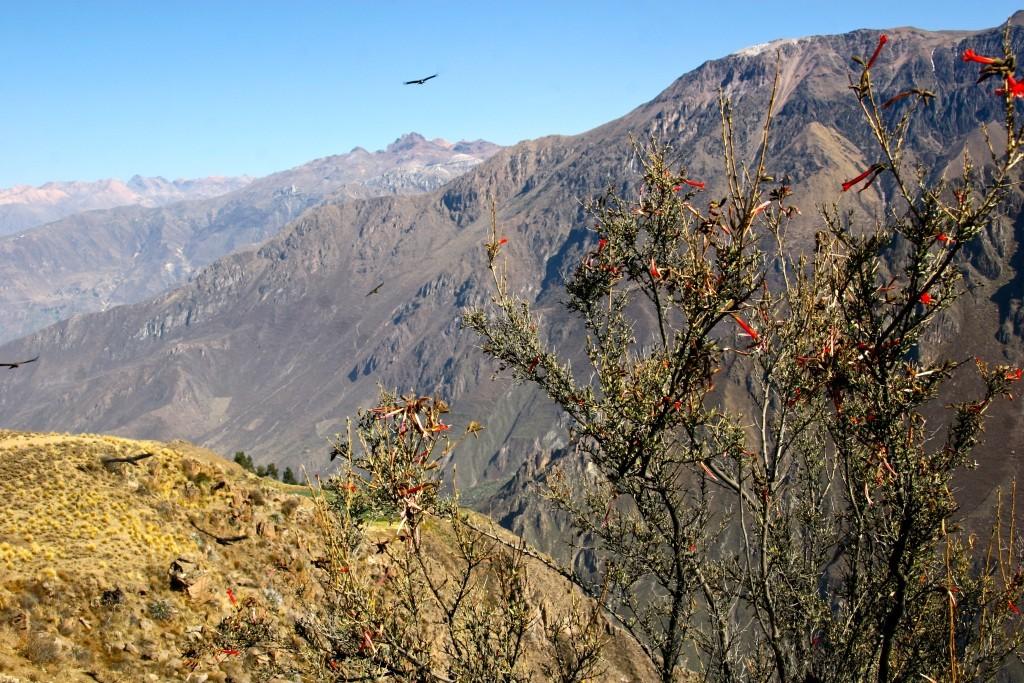 Kondore über dem Cañon del Colca