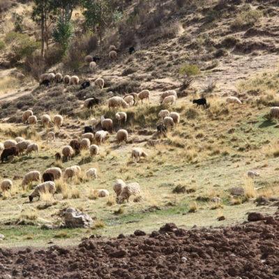 Peruanischer Schäferin mit Schafen bei Cusco