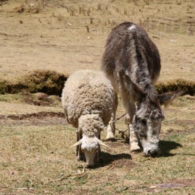 Schaf und Esel beim Weiden