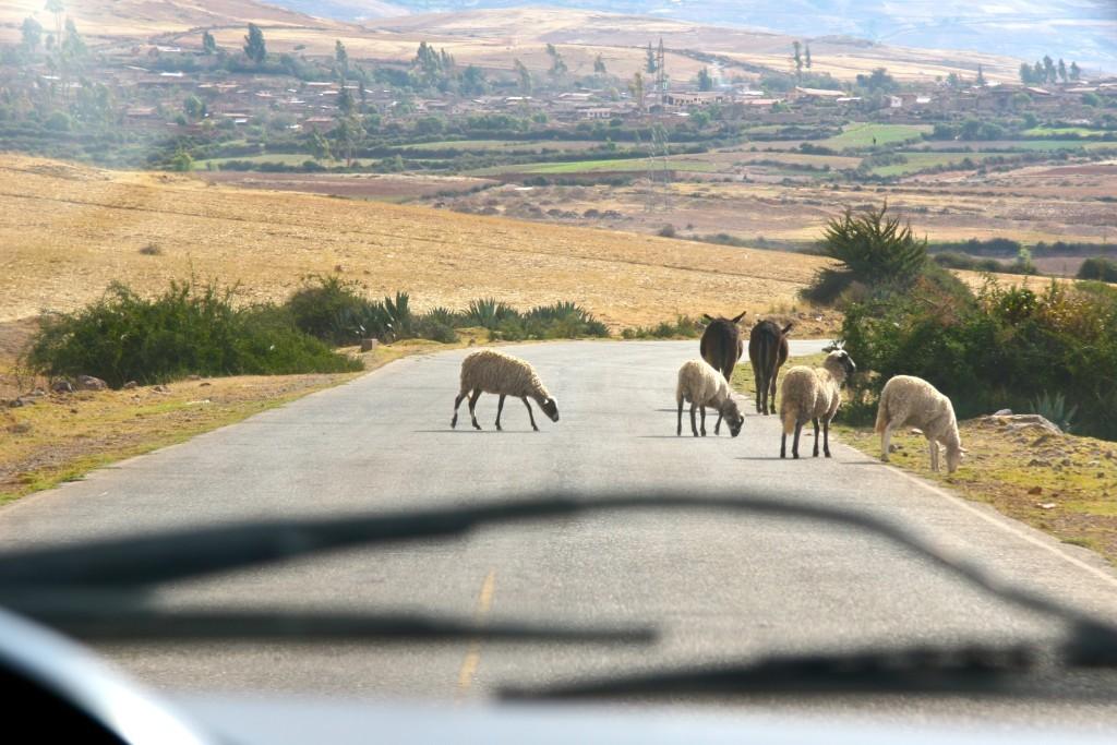 Schafe & Esel auf der Straße bei Maras / Peru