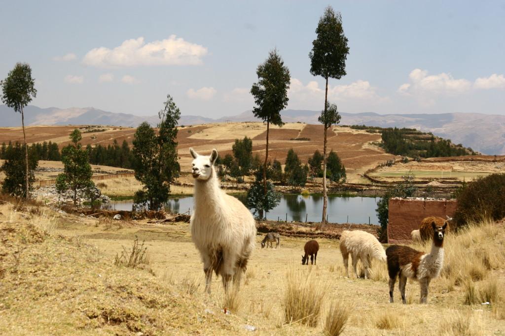 Alpachas im Umland von Cusco