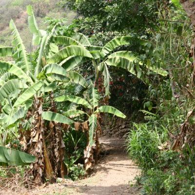 Bananenbäume am Wegesrand zum Machu Picchu