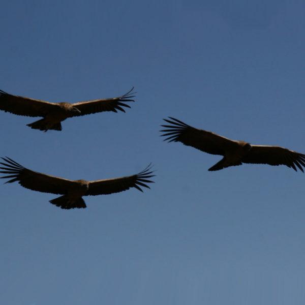 Cañon del Colca - Kondore im Gleitflug über dem Colca-Canyon