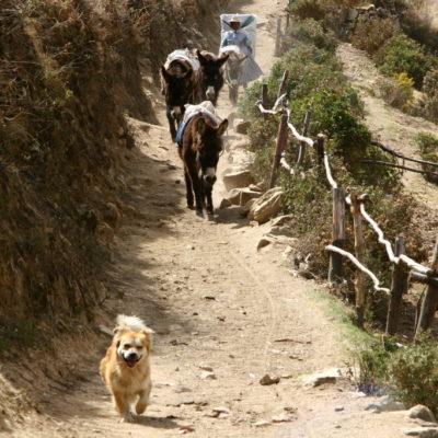 Ein kleiner Hund läuft vor der Esel-Karawane und bewacht sie fleißig
