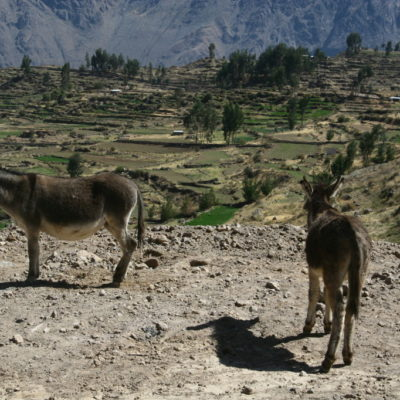Esel im Colca Canyon / Peru