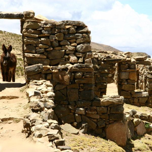 Esel in den Ruinas de la Isla del Sol