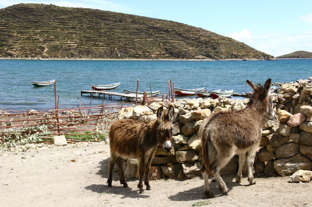 Esel vor der Anlegestelle der Isla de Sol