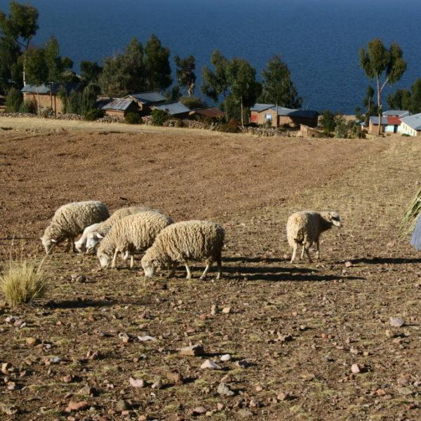 Kleine Schafsherde auf der Insel Amantaní