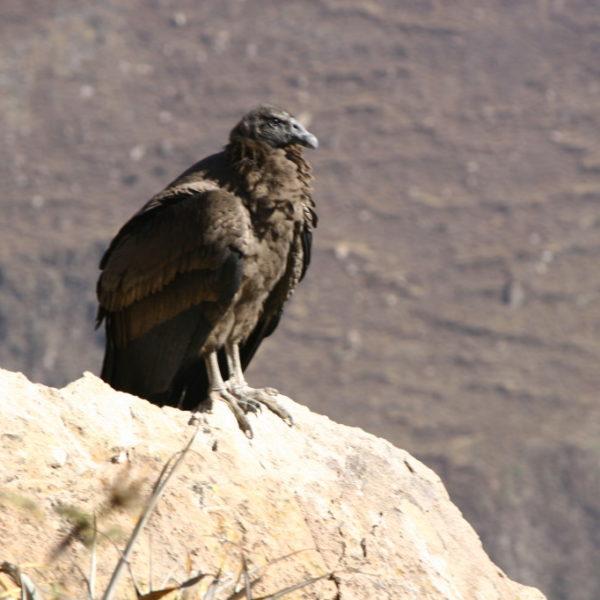 Cruz del Condor -Zwischen Cabanaconde und Chivay befindet sich das Kreuz des Kondors