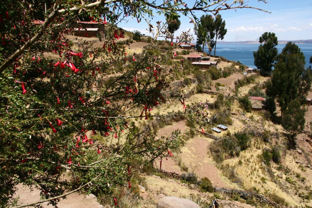 La Flor Sagrada de los Incas / Heilige Blume der Inka - Peruanische Nationalblume Cantua buxifolia auf der Insel Taquile im Titicacasee