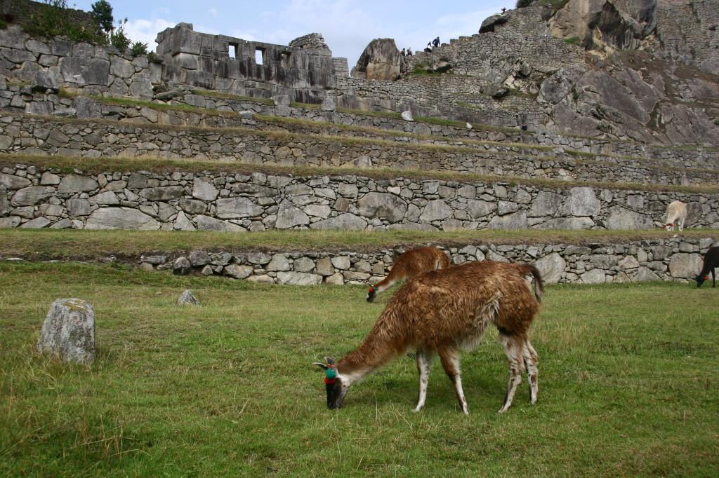 Machu Picchu - Alpachas grasen auf dem Gelände