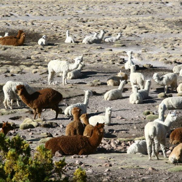 Alpaka-Herde in der Pampa Cañahuas auf 3800m