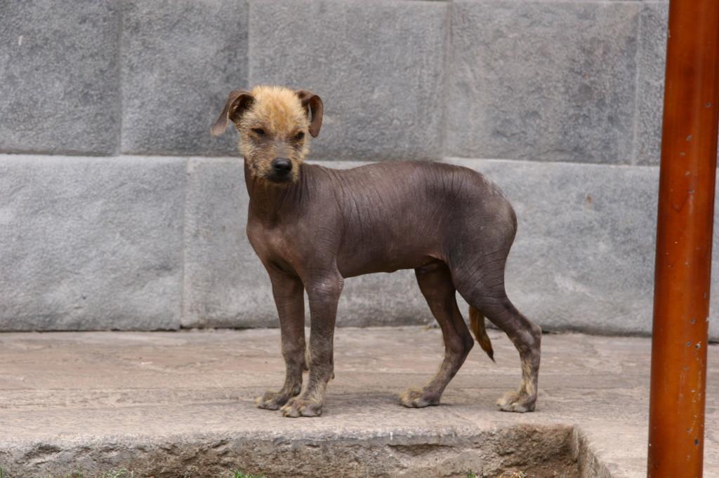 Perro sin pelo del Perú - Peruanischer Nackthund