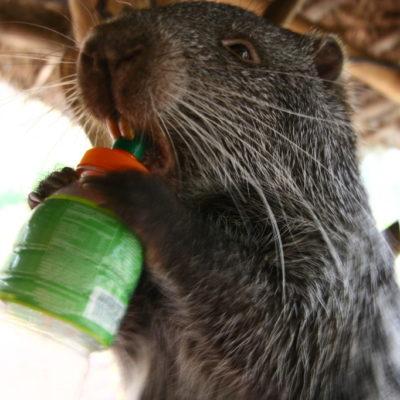 Picuro - Der südamerikanische Nager Paka Cuniculus entdeckt den Vorteil einer Trinkflasche