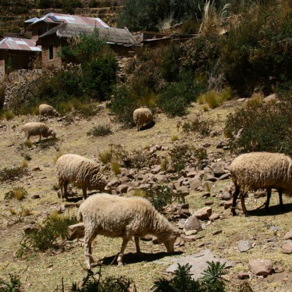 Schafe weiden auf der Insel Amantaní