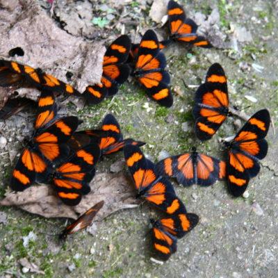 Schmetterlinge im Schwarm auf dem Pfad zum Machu Picchu