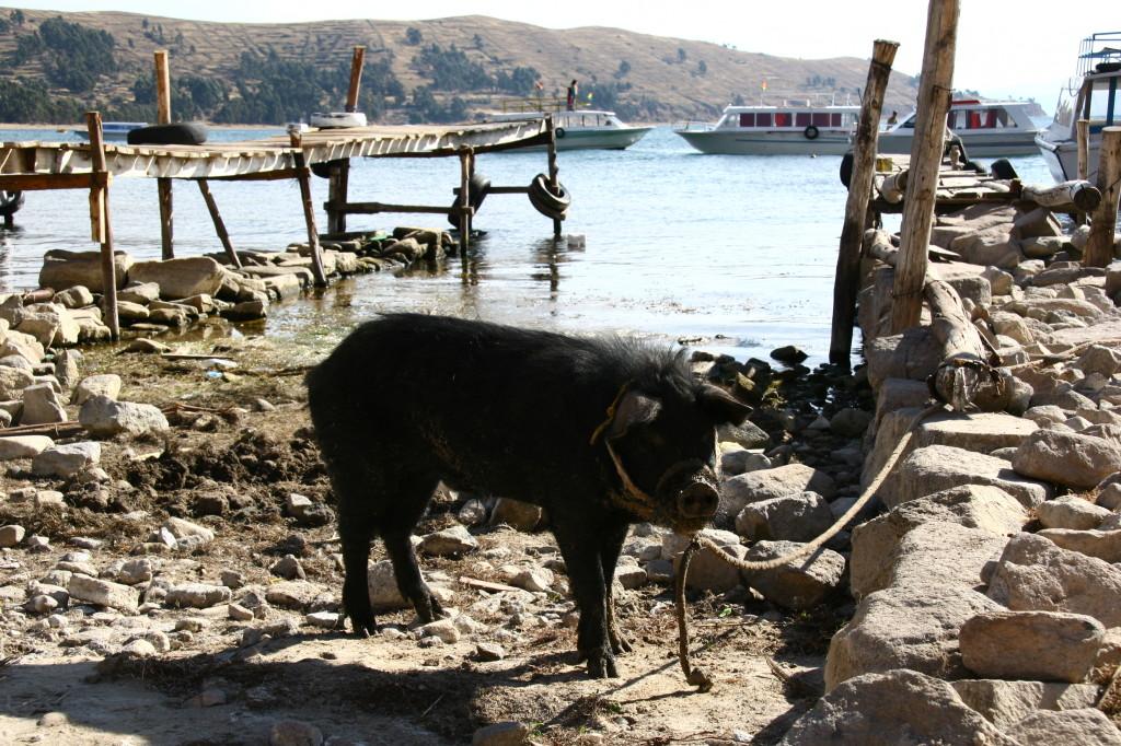 Schwein am Hafen von Copacabana am Titicaca-See