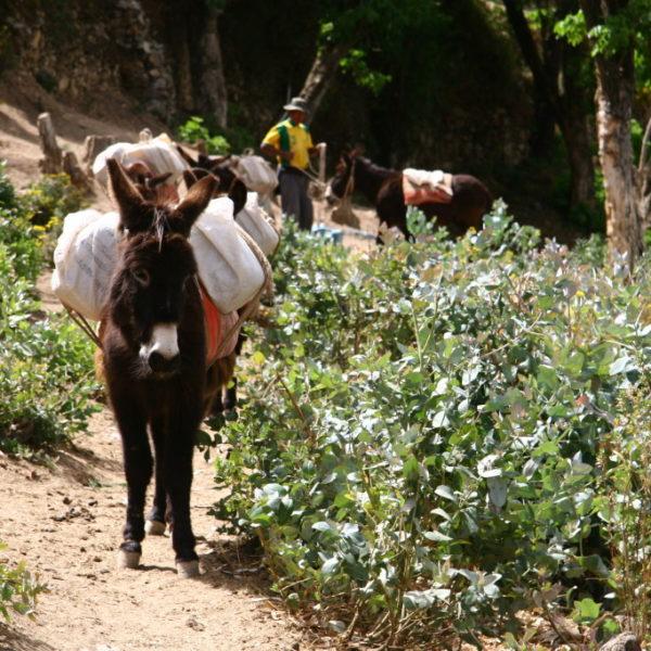 Schwer beladen - Esel auf der Isla de Sol