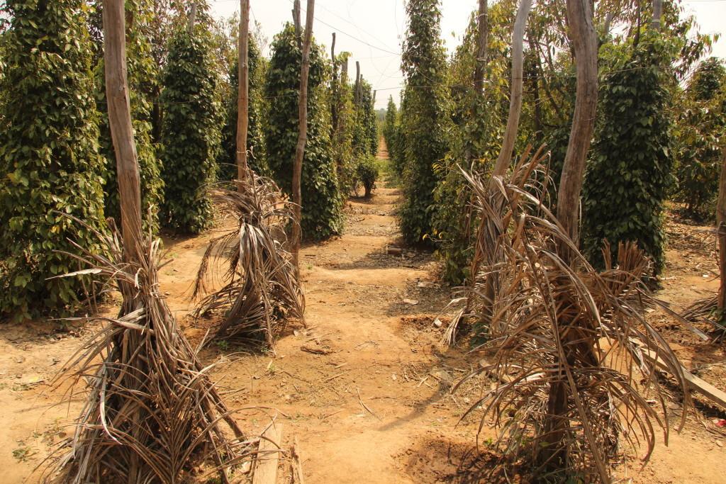 Pfefferplantage - Der berühmte Kampot-Pfeffer