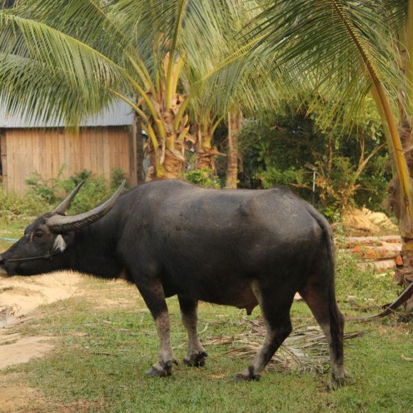 Wasserbüffel auf dem Weg durch den Dschungel von Koh Rong