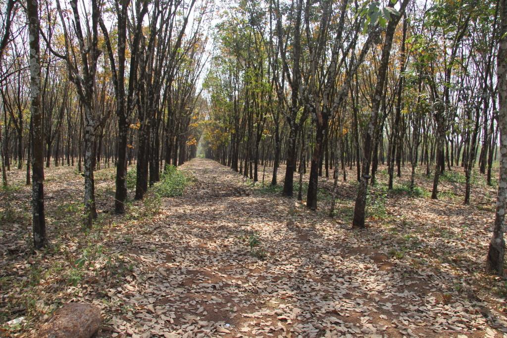 Kautschuk-Plantage in Mondulkiri