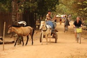 Radtour auf Koh Trong - Kleine Ponys werden vor die Karren gespannt