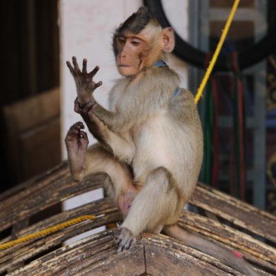 Affe an der Leine in Sen Monorom