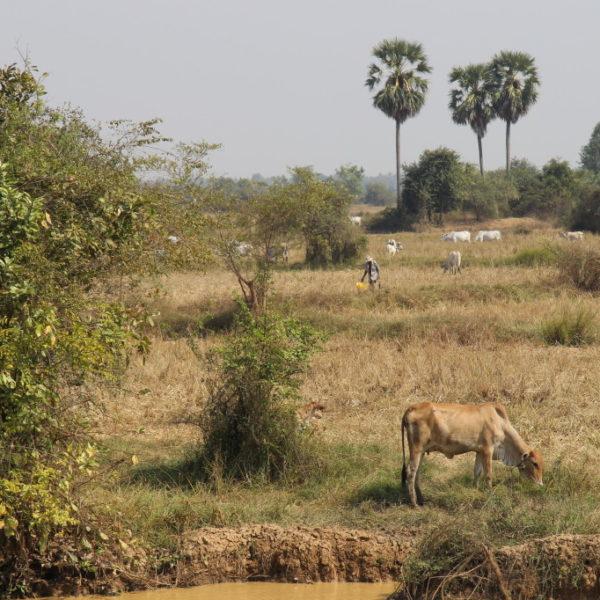 Bamboo Train - Mit dem Bambuszug vorbei an Reisfeldern und Kühen