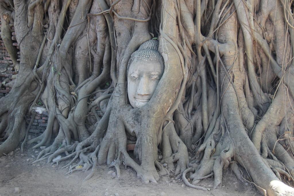 Banyan-Baum mit eingewachsenen, steinernen Buddha-Kopf im Wat Maha That
