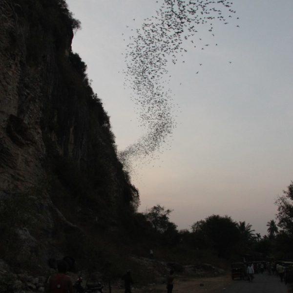 Bat Caves - Eindrucksvolles Naturspektakel! Jeden Abend gegen 18 Uhr fliegen unzählige Flädermäuse  ausd der Höhle heraus auf der Suche nach Futter und bilden einen nicht enden wollenden, dunklen Streifen am Himmel.