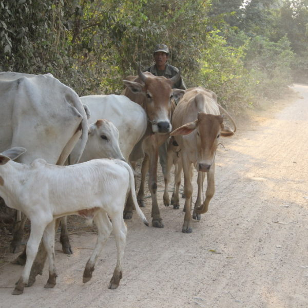 Kühe auf der Straße müssen dem motorbetriebenen Tuk Tuk weichen