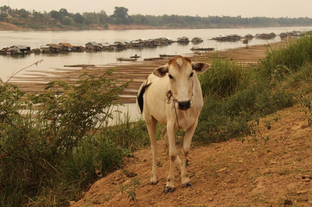 Floating Village - An Kühen vorbei zum schwimmenden vietnamesischen Dorf