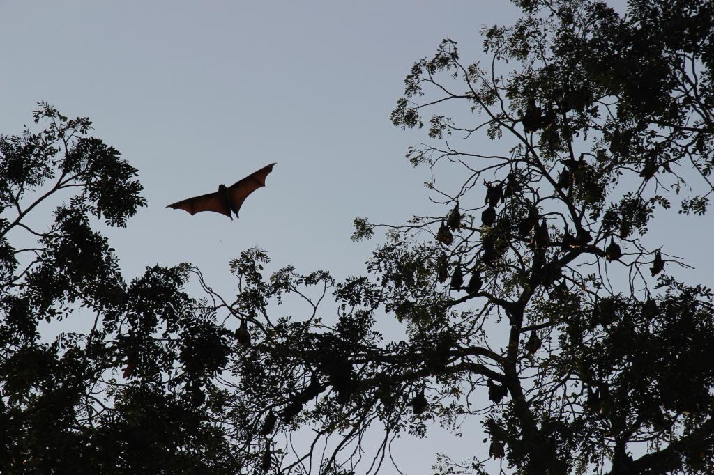 Verwandte von Graf Dracula? An einer alten Eisenbrücke nahe dem Kloster Wat Baydamram lebt eiene Kolonie Flughunde. Sie sehen aus wie große Fledermäuse mit einer Flügelspannweite bis zu 1,70 Meter. Die Vegetrarier werden Fruit Bats genannt.