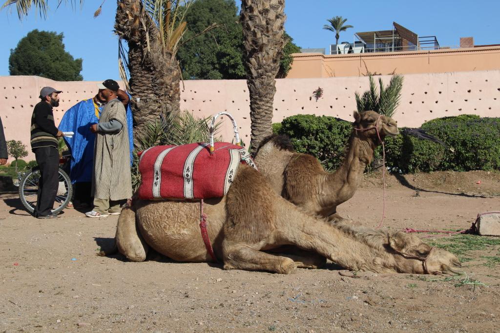 Kamele als Touristenattraktion