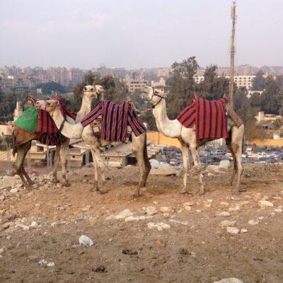 Kamele bei den Pyramiden von Gizeh