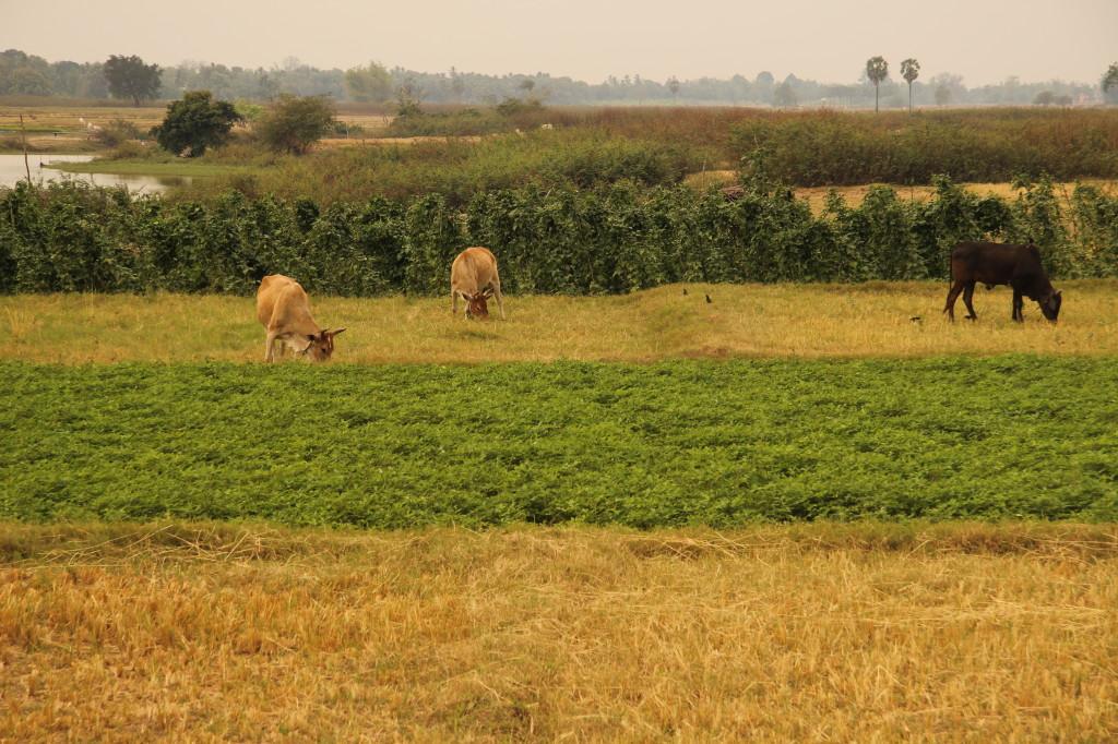 Kühe und Felder auf der Insel bei Kratie