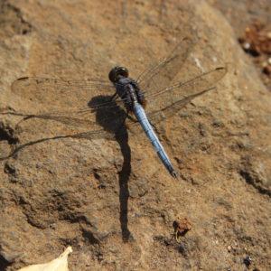 Libelle am Fluss