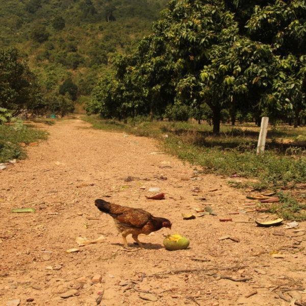 Mangobäume in Kampot - Die süßen Mangos schmecken auch Hühnern