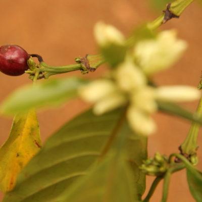 Mondulkiri-Kaffee: Kaffeebohne und Kaffeeblüte