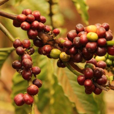 Mondulkiri-Kaffee: Kaffeebohnen in voller Reife