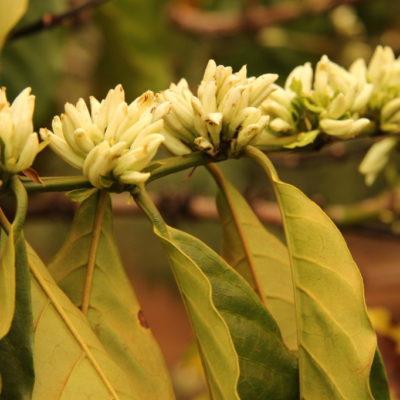 Mondulkiri-Kaffee: Lieblich duftenden Kaffeeblüte