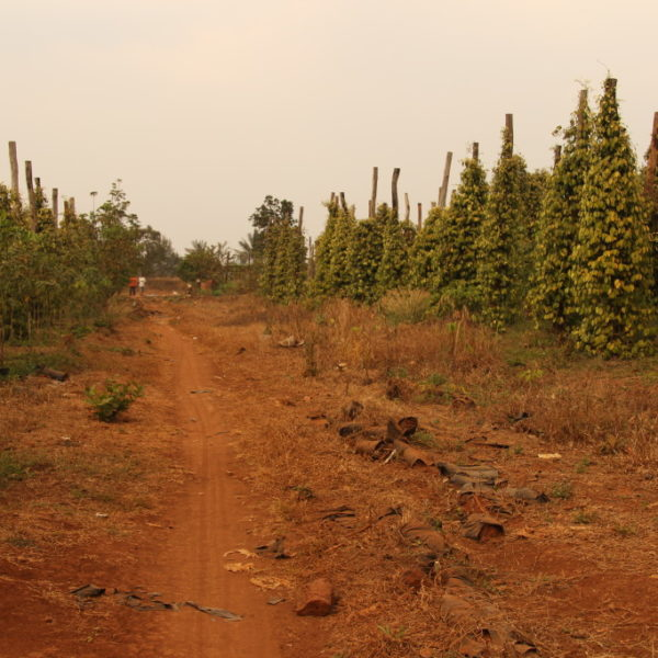 Pfefferplantage in Mondulkiri