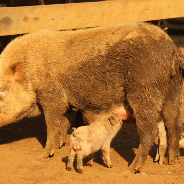 Phnong-Dorf - Schweinefamilie