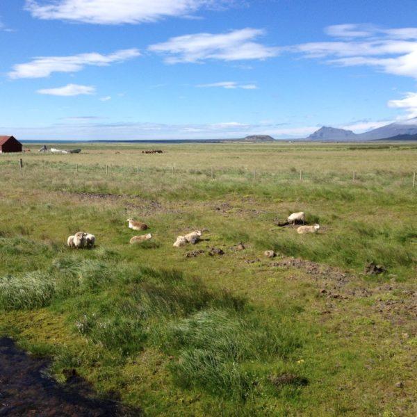 Schafe an der Südküste von Snaefellsnes