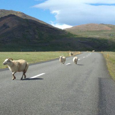 Schafe auf dem Hringvegur